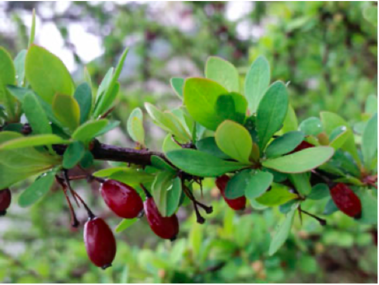 Barberry Fruit